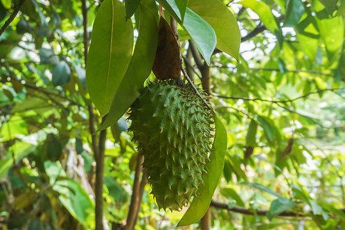 Soursop Fruit Tree- Upto 25% OFF