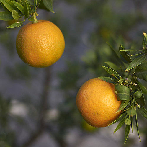 Chinotto Orange Tree