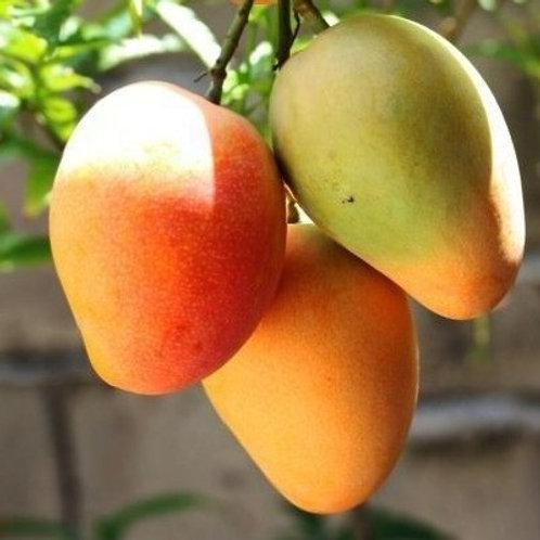 Indian Mango - Alphonso