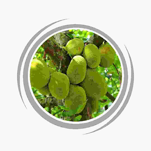 Jackfruit (Grown from seed)