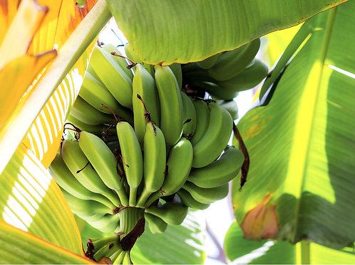 Carnavon Banana Tree