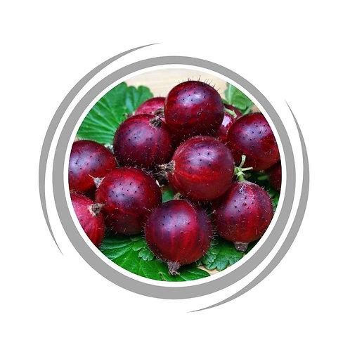 Gooseberry Captivator fruit tree delivered Perth