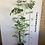 Thumbnail: Moringa - Grown from stump
