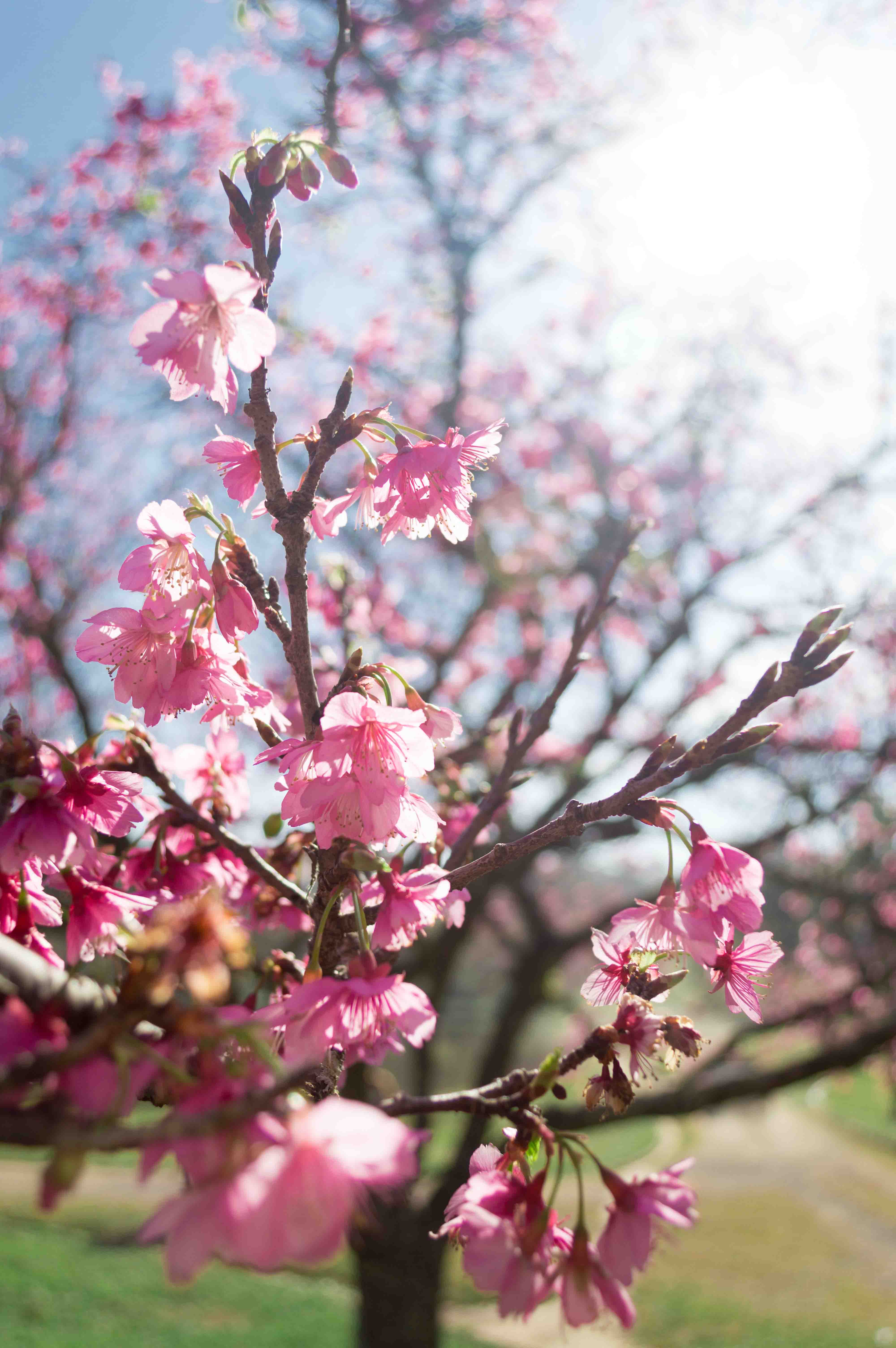 Cerejeiras-20