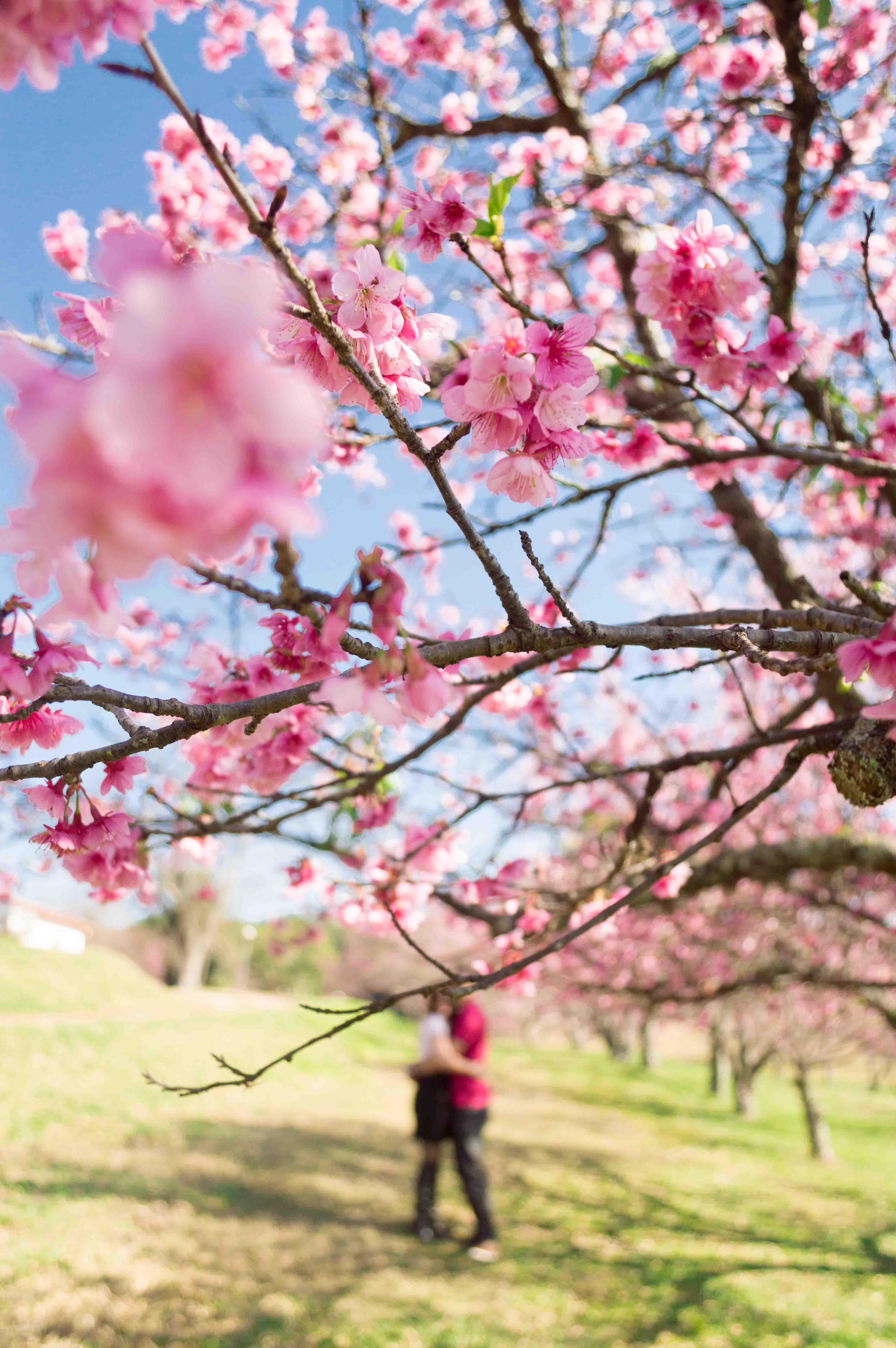 Cerejeiras-40