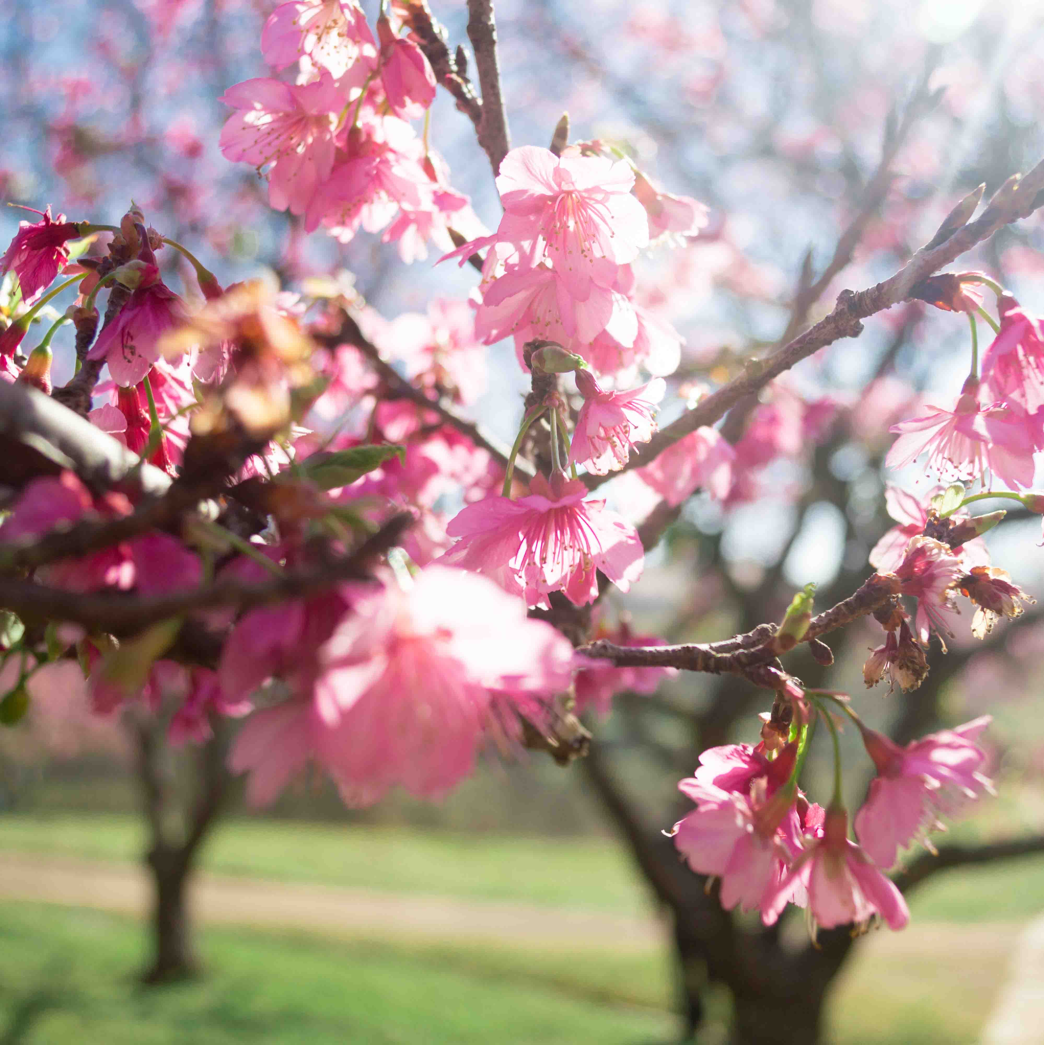 Cerejeiras-19