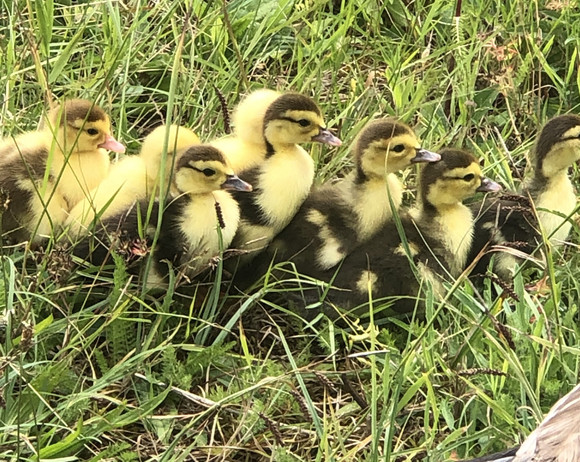 Forge Ducklings
