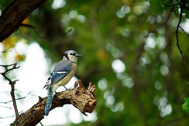 Blue Jay by Jessica Jasso