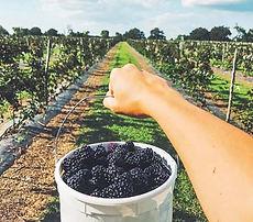 blackberries-montgomery-tx_edited_edited