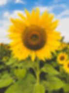 you pick sunflowers.jpg