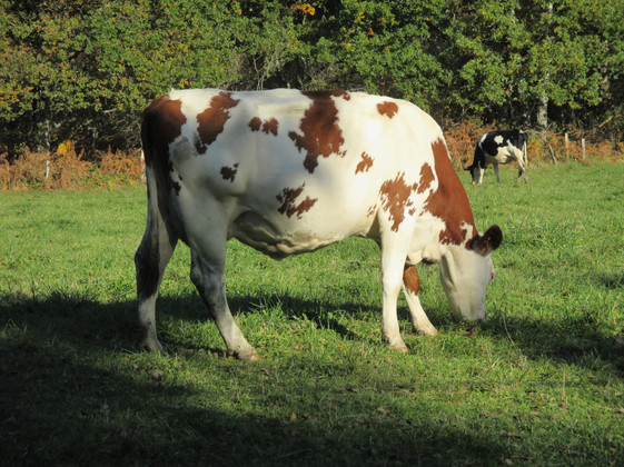 Montbeliarde Cow Grazes on the Doubs