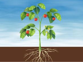 Nutrição vegetal: orgânica e inorgânica