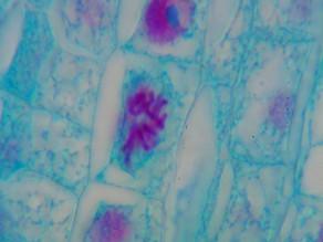 Mitose: a divisão celular vital