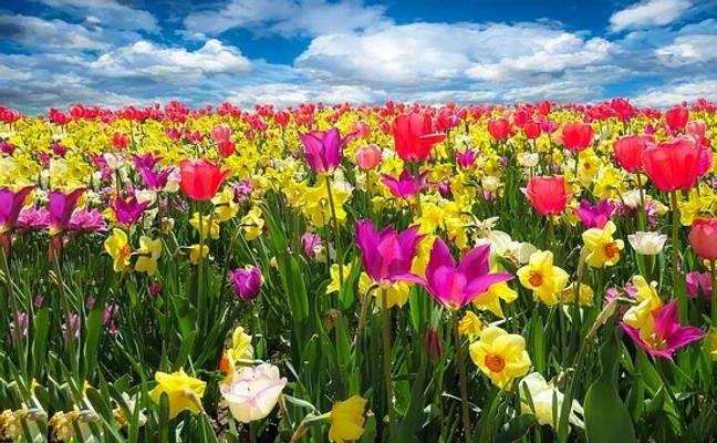tulips-1197602__340.webp