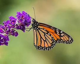 butterfly-3110239__340.webp