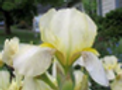Iris flavescens.png