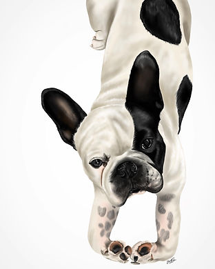 This is a portrait of white french bulldog, with black ears, a black patch over their eyes and black patches on it's back. The image is drawn from above and the dog is looking up, and has it's front paws together.