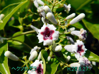 今日のお花:ヘクソカズラ