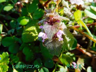 今日のお花:ヒメオドリコソウ