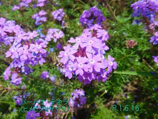 今日のお花:バーベナ・テネラ