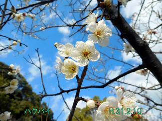 今日のお花:ハクバイ