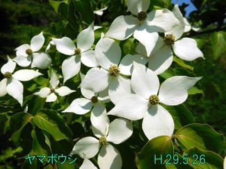 今日のお花:ヤマボウシ