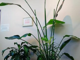 しらはえ町クリニックの観葉植物