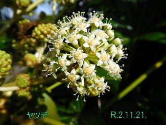 今日のお花:ヤツデ