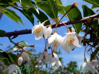 今日のお花:エゴノキ