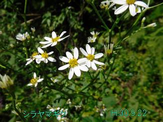 今日のお花:シラヤマギク