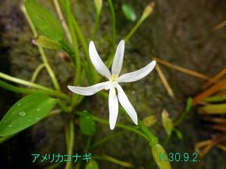 今日のお花:アメリカコナギ
