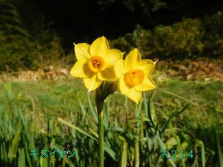 今日のお花:キスイセン
