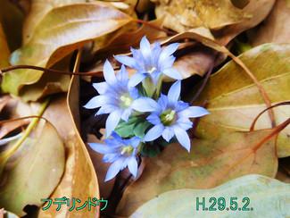 今日のお花:フデリンドウ