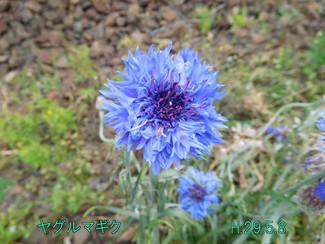 今日のお花:ヤグルマギク