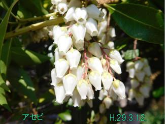 今日のお花:アセビ