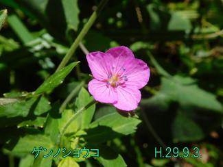 今日のお花:ゲンノショウコ