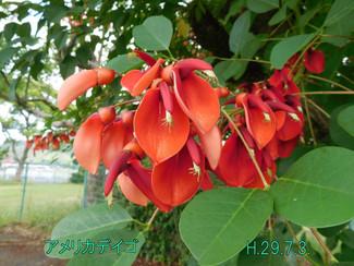 今日のお花:アメリカデイゴ