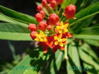 今日のお花:ヤナギトウワタ