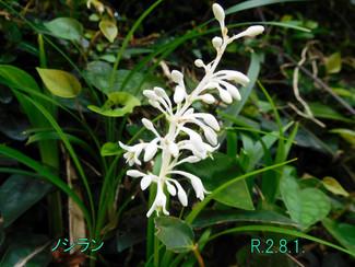 今日のお花:ノシラン
