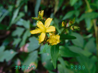 今日のお花:オトギリソウ