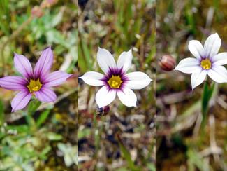 今日のお花:ニワゼキショウ
