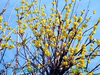 今日のお花:ソシンロウバイ