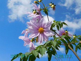 今日のお花:コダチダリア