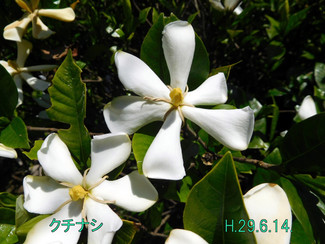 今日のお花:クチナシ