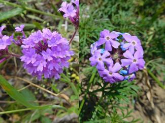 今日のお花:バーベナ