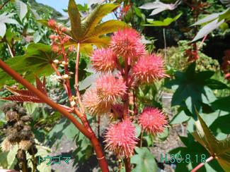 今日のお花:トウゴマ