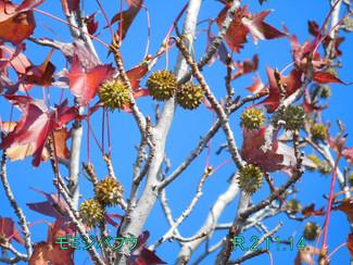 今日のお花:モミジバフウ