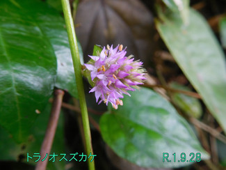 今日のお花:トラノオスズカケ