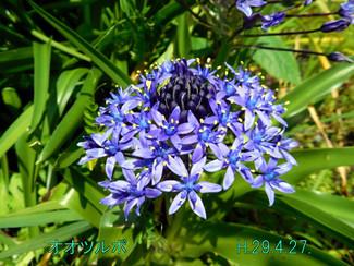 今日のお花:オオツルボ