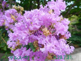 今日のお花:サルスベリ